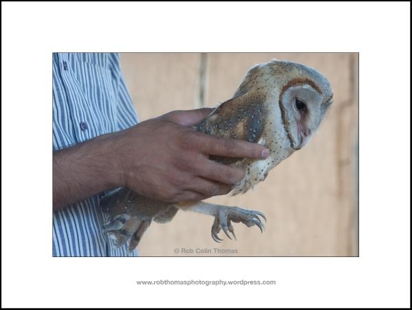 barn_owl_03