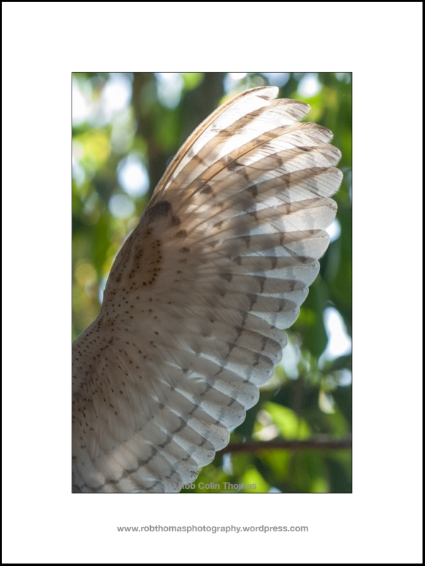 barn_owl_11