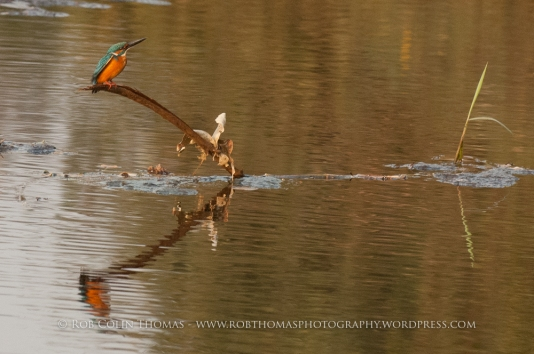 kingfisher_160124web-100