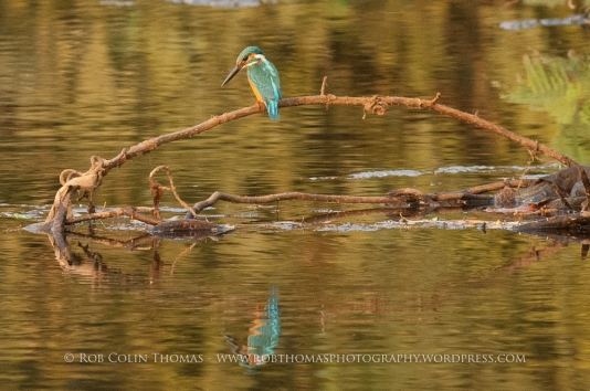 kingfisher_160124web-101