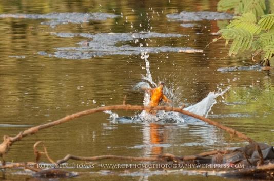 kingfisher_160124web-103