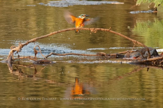 kingfisher_160124web-104
