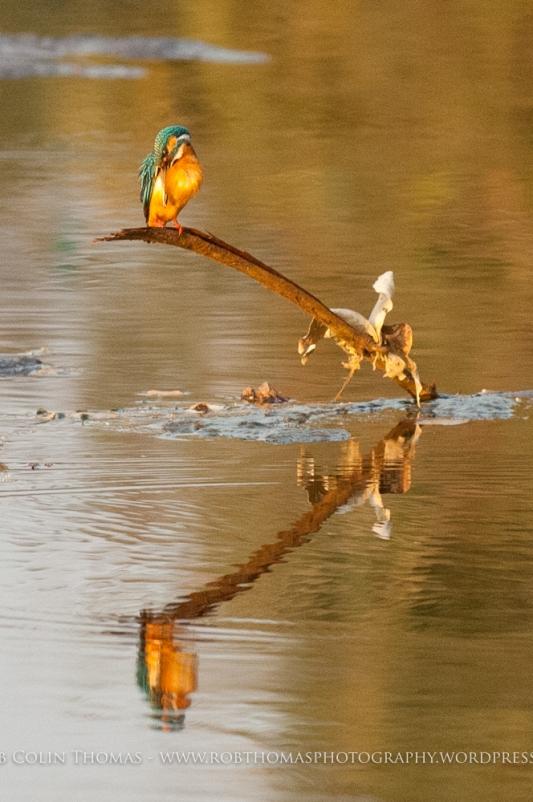 kingfisher_160124web-108
