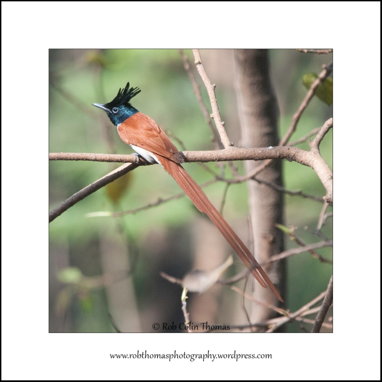 asian-flycatcher-01