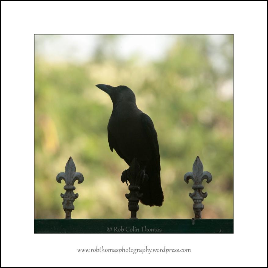 house-crow-01