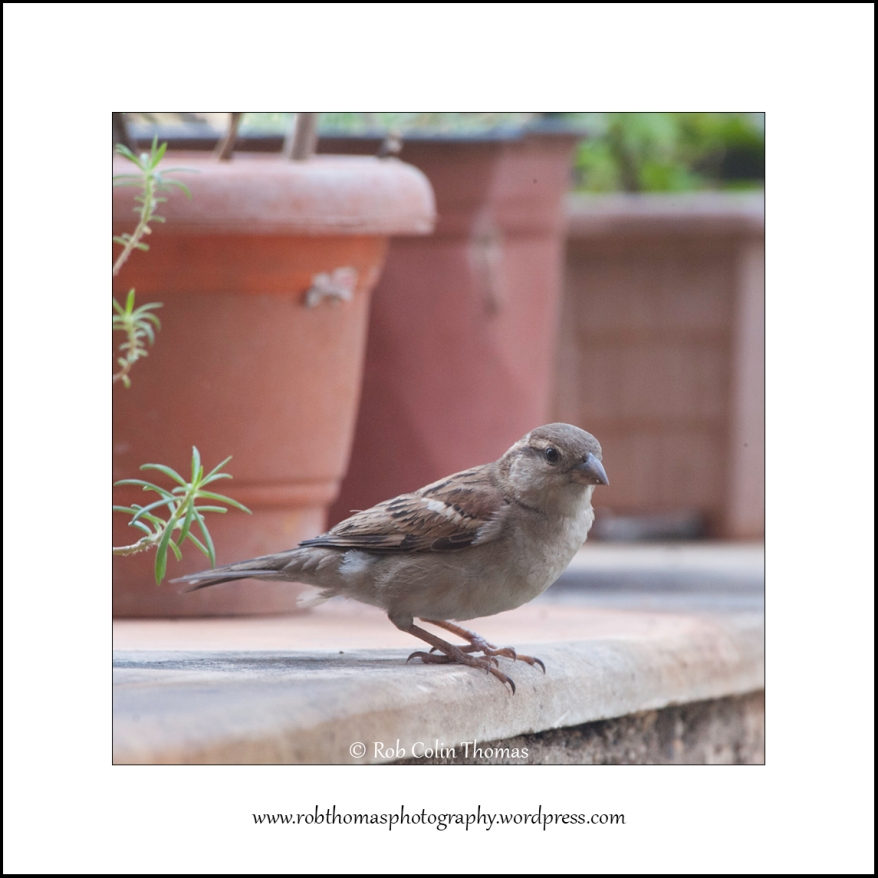 house-sparrow-01